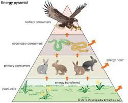 food web pyramid trophic pyramid definition examples britannica com