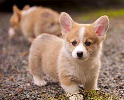 corgi puppy playing. Contemporary Puppy Cardigan Welsh Corgi Puppy HD Photo To Playing I