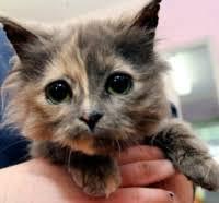 adoptable cat photo celeste is