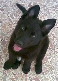 aris the belgium shepherd puppy sitting on a stone surface looking up