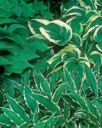 Small Picture Designing with Hostas Fine Gardening