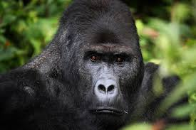 wildlife conservation society tag newshour gorilla population decimated by decades of war in democratic republic of congo