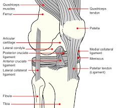 Anterior Cruciate Ligament Injury Wikipedia