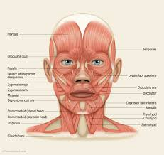 muscles of the head by label   anatomy human body    muscles of the head by label muscles of the head diagram human anatomy diagram