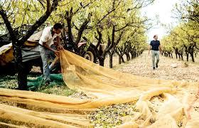 Nell'alta Murgia la prima fattoria in cui dalla mandorla si creano formaggi