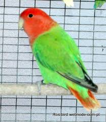 Lovebird Color Mutations Chart Mutations Agapornis Color Mutations
