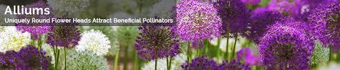 Shop Premium Allium Bulbs For Sale - Alliums and Allium Collections