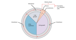 Phases Of The Cell Cycle Article Khan Academy