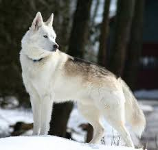 white husky wolf mix. Plain Wolf Black Wolf Hybrids For Sale  Monti Is A Husky Hybrid He Has More For White Husky Wolf Mix