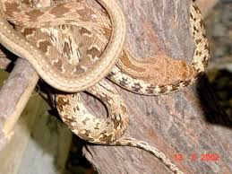 Snakes Venomous And Non Venomous Found In The Uae A Guide