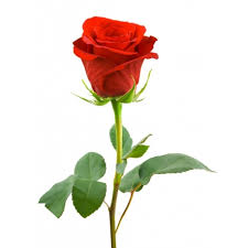 single red rose flower. Perfect Rose Single Red Rose Longstem With Flower Uganda Flowers And Gifts