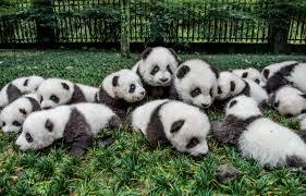 Giant Panda Population Chart Giant Pandas Are No Longer Endangered National Geographic
