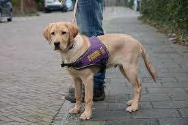 Afbeeldingsresultaat voor blindengeleidehonden
