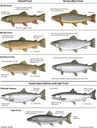 What Are The Different Trout Species Can You Name 4