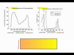 Action Spectrum Photosynthesis Part 6 Action Vs Absorption Spectrum Ib Biology
