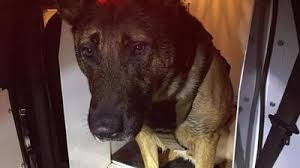 Thurston County Sheriffs Office K9 Has A Busy Crime Fighting
