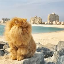 orange persian cat. Modren Orange Furry Persian Orange Cat At The Beach With Resorts In Distance Intended Orange Cat U