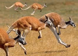"""Résultat de recherche d'images pour """"Kangaroo"""""""