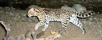 ocelot size a decade of success in jaguar and ocelot conservation sky island