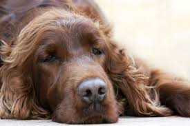 Canine Lymphoma Symptoms Lymphoma In Dogs Symptoms Diagnosis And Treatment