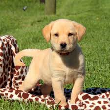 retriever yellow puppies for