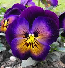 Risultati immagini per la pensee flower