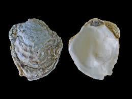 Oyster Identification Chart Ostrea Edulis Wikipedia