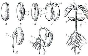 Семя строение и типы Ботаника Реферат доклад сообщение  Рис 50 Семя фасоли phaseolus vulgaris его прорастание и формирование проростка А вид семени сбоку Б со стороны рубчика В семя с зародышем