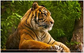 powerful lion tiger wallpapers images