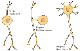 The Electrical Coordinating System Of The Body Neurons And Nerves