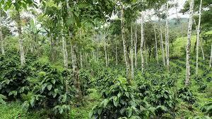 shade grown coffee plantation. Modren Grown Young Coffee Bushes In A Shadegrown Organic Plantation Ecuador  Stock Video Footage  Videoblocks With Shade Grown Coffee Plantation N