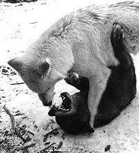 white wolf and black wolf fighting. Interesting Wolf White Wolf Fight  Google Search On White Wolf And Black Fighting