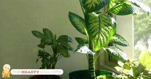 poisonous indoor plant no knows that this common indoor plant is actually poisonous poisonous house plants poisonous indoor plant