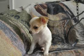 Chihuahua Puppies In Hoobly Classifieds