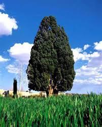 نتیجه تصویری برای ملا نصر الدین  و درخت چنار