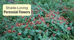 shade loving perennial flowers 15