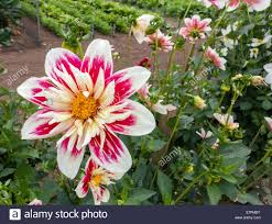 English Kitchen Garden Single Red And White Dahlia Flower In An English Kitchen Garden