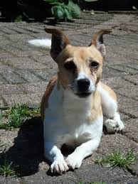 Jack Russell Terrier Dog Breed ...