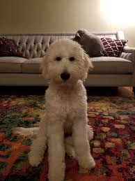 Standard Goldendoodle Size Chart Riley Is Now 6 Months About 35 Lbs Shes Beautiful Is She