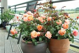 can i grow roses in containers