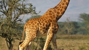 pictures of a giraffe. Perfect Pictures A Giraffeu0027s Neck Is About 6 Feet Long With Pictures Of Giraffe Sciencing