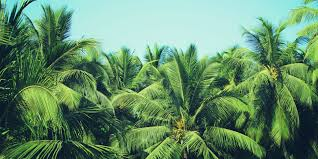 How To Grow And Care For Palm Trees Bunnings Warehouse
