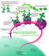 Amino Acid Translation Chart Protein Biosynthesis Wikipedia