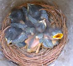 Baby Bird Age Chart Bluebird Nestling Day 1 21 Time Sequence Photos