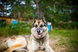 german shepherd husky mix full grown. Wonderful Full The German Shepherd Husky Mix Really Is A Beautiful Blend Of The  And Siberian Husky They Also Go By Name Gerberian Shepsky  Intended Full Grown Animalso