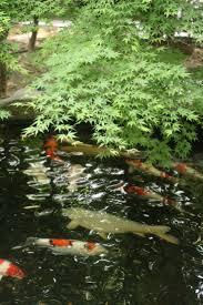 Nishiki-goi. Garden PondsKoi ...