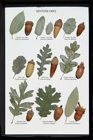 Oak Tree Comparison Chart Oak Leaf And Acorn Display Western Oaks Tree Leaf