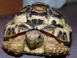 Leopard Tortoise Size Chart Leopard Tortoise Care Chicago Exotics Animal Hospital