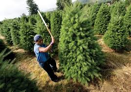 Sustainability program turns Christmas trees even greener