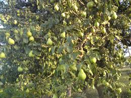 Tree Of 40 Fruit U2013 Syracuse New York  Gastro ObscuraDifferent Fruit Trees